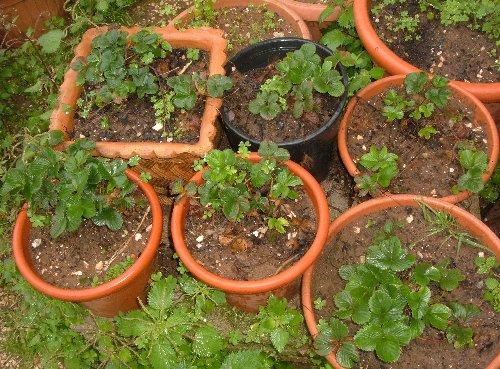 Marzo le fragole cominciano a fiorire l 39 orto sul balcone for Pianta di fragole
