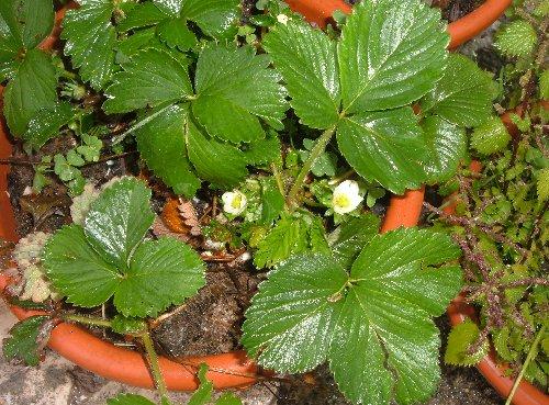Marzo le fragole cominciano a fiorire l 39 orto sul balcone for Fragole in vaso