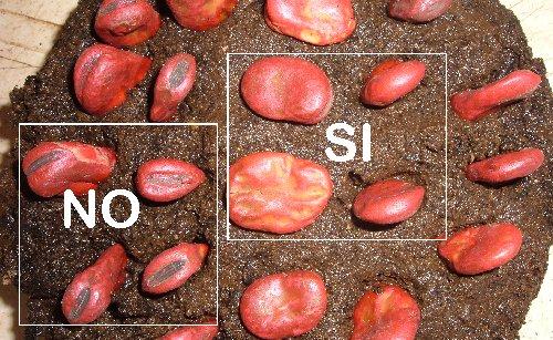 Piante Balcone Pieno Sole : Coltivare le fave in vaso sul balcone l orto