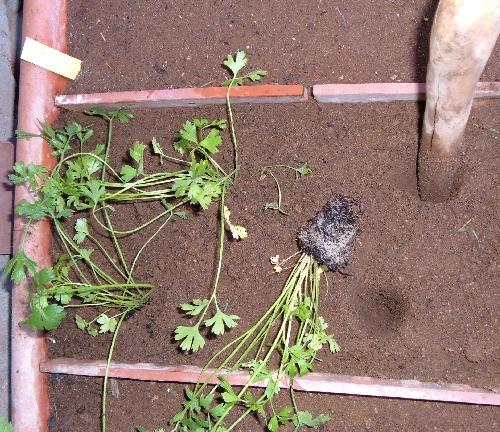 Trapiantare il prezzemolo in vaso l 39 orto sul balcone for Semina basilico in vaso