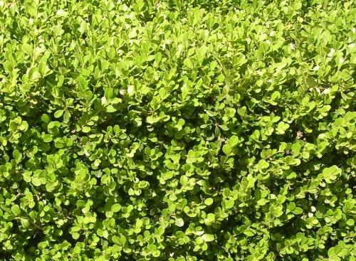 Proteggere dagli inquinamenti l orto sul balcone l 39 orto for Bosso siepe