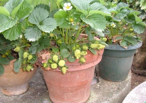 Coltivare le fragole sul balcone l 39 orto sul balcone for Fragole in vaso