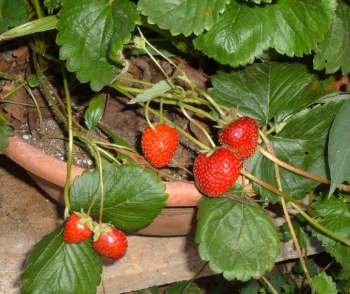 Coltivare le fragole sul balcone l 39 orto sul balcone for Pianta fragole