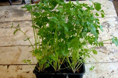 Coltivare il prezzemolo in casa anche d inverno l 39 orto for Semina basilico in vaso