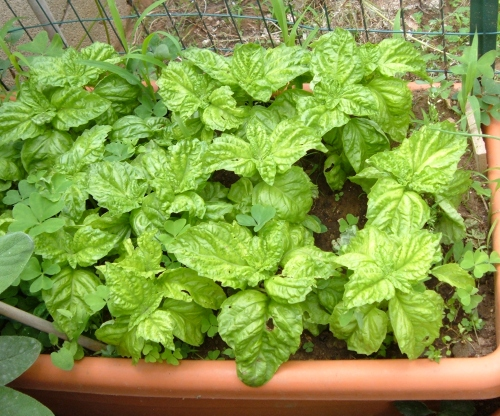 Coltivare le aromatiche sul balcone l 39 orto sul balcone for Coltivare il basilico
